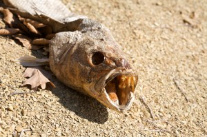Color photograph of a dessicated large fish with hollow eye sockets, mouth wide agape.