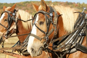 Color photograph of the heads of two Haflinger horses wearing elaborate decorated head gear and heavy collars and hames for pulling a carriage.
