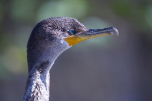 Color photograph of a cormorant's gray head with intense blue eyes and yellow underside of the beak.