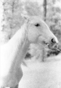 Black & white infrared photograph of the head and neck of a free-roaming horse.