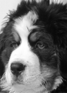 Black & white photograph of the head of a Bernese mountain dog puppy.