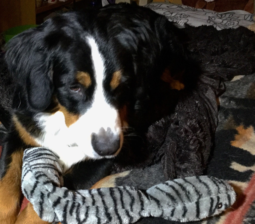 Color photograph of a Bernese Mountain dog with a large, zebra-striped gray and black plush toy snake.