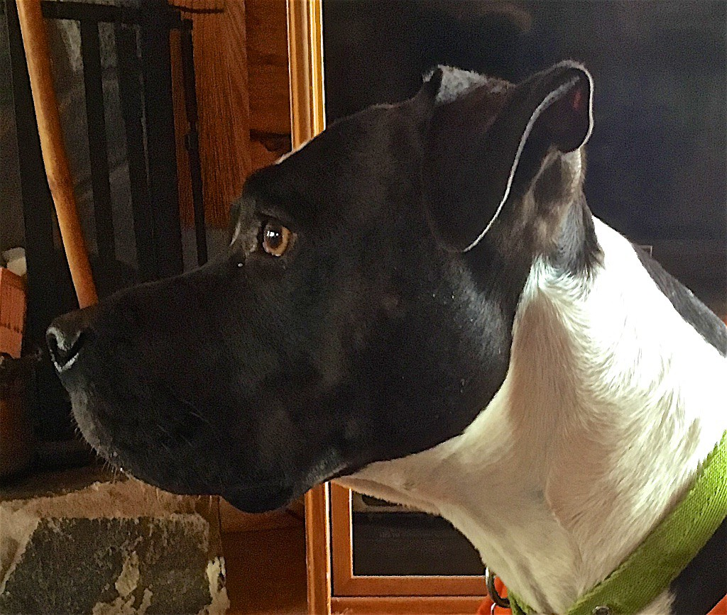 Color photograph of a dog's head in profile view. The black head with dark brown eye and strong jaw is sharply delineated from the white neck that appears to have a black spot on top above the shoulders.