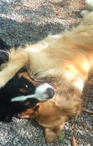 Close-up color photograph of a Bernese mountain dog playing with a golden retriever. Both dogs are lying on the ground with the heads facing each other. The Golden has the left side of his head lying on the ground and his left ear is spread out on the gravel. The Berner has the right side of her head lying on the left side of the Golden's head. Their right eyes are closed an only about one inch in front of each other. The Berner has her left eye open and the Golden has his right front leg resting on her left ear.