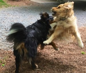 Spectacular, motion-blurred action color photograph of a Bernese mountain dog playing with a golden retriever. We are looking at the back and right side of the Berner whose front legs are off the ground and whose right ear is flung up. Her head is touching the right side of the Golden, who is completely airborne and who we have in frontal view. His front legs are spread out widely and his head is turned right toward the Berner. In this profile view of the head, the right ear is flung back and we can look right through his open mouth. Plenty of fluffed up long hair on both dogs.