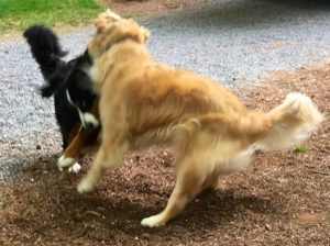 Motion-blurred action color photograph of a Bernese mountain dog playing with a golden retriever. They are facing each other and it looks like they have slammed into each other; both have their front paws above ground. Both also have their tails curved in motion. We are looking diagonally from the back at the left side of the Golden. Visible of the Berner, is only the left side of her head that is bent down and to her right, her ears and right front leg that are flung out into the air, her right hind leg and tail.