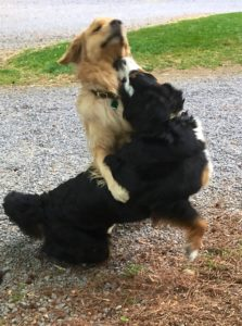 Color photograph of a Bernese mountain dog playing with a golden retriever. Both dogs are about to get up on their hind legs. The Golden has his right paw reaching over the perpendicular back of the Berner and his head stretched up heigh. The Berner is bending backward, pressing her left cheek against his right shoulder and her nose against his throat and left jaw.