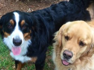 Close up color photograph of the heads of a Bernese mountain dog and golden retriever standing next to each other. Clearly visible is the Berner's distinctive facial pattern, black nose, white muzzle, tan cheeks, black upper part of the head with chestnut eyes, tan marks over each eye (which is the reason they sometimes are referred to as four-eyed dogs), and white center stripe that extends from the nose up between the eyes to the top of the skull. She also has a good part of her tongue stretched out. Both dogs have long hair. The Golden has a cute pink sheen to the top of his nose.