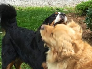 Color photograph of a Bernese mountain dog playing with a golden retriever. The bottom right quarter of the image shows the head of the Golden with substantial motion blur in front of the Berner's front and neck. Above the Golden's head, only the upper jaw, nose and right side of the Berner's head with her right eye are visible, and her teeth are hidden behind her flews. The left side of the image shows the Berner's black torso and the ascending part of her bushy tail.