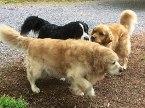 Color photograph of a Bernese mountain dog and a golden retriever standing at right angles to each other and sniffing each other's nose, while an older golden retriever walks by just in front of them.