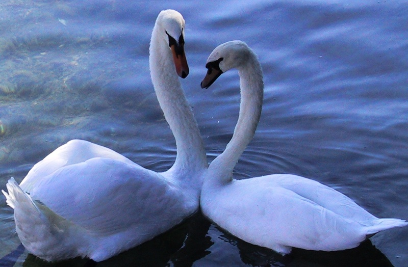 Color photograph of two white mute swans (Cygnus olor) facing each other, with the bases of their necks pressed together at a body angle of about 120 degrees, forming an inverted V of water in front of them from the viewer's perspective. With their beaks also near each other, their necks and heads are about to form the outline of a heart.
