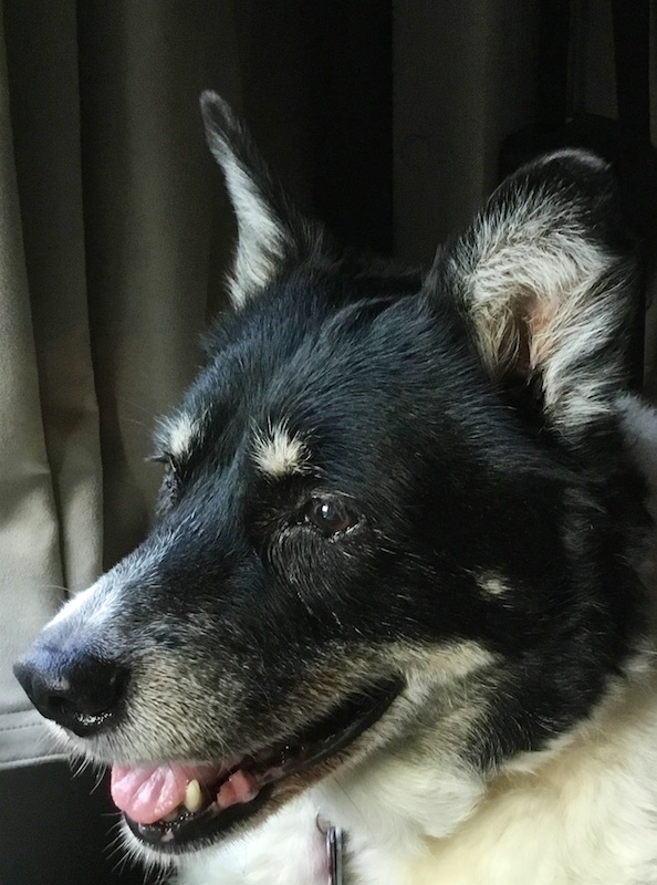 Color portrait of black and white dog with a mostly black head but grayish muzzle, white tufts above the dark brown eyes, and white hair on the inside of his pointed ears. The tip of the pink tongue and his lower left canine tooth is visible.