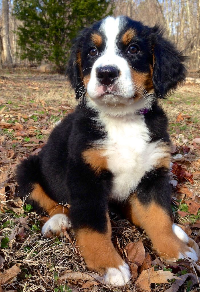 Color right-frontal photograph of a, cuddly, wooly-looking Bernese mountain dog puppy, sitting on dry grass and maple leaves near the edge of a forest. The white and tan markings of the dog's black coat are typical for the breed and perfectly expressed with a white frontal stipe centered on the forehead and down over the bridge of the nose, muzzle, chin and front of the throat and breast as well as on the tips of all four paws. Tan on the lower parts of the legs, to the left and right of the cruciform chest pattern, as well as on the checks, and a tuft above each eye.