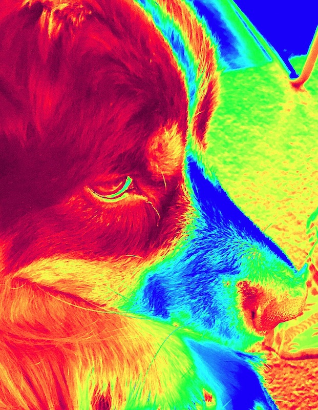False-color photograph of the head of a Bernese mountain dog from a vantage point above and in front of the right eye. The range of clors from dark to bright include red, blue, green, and yellow tones.