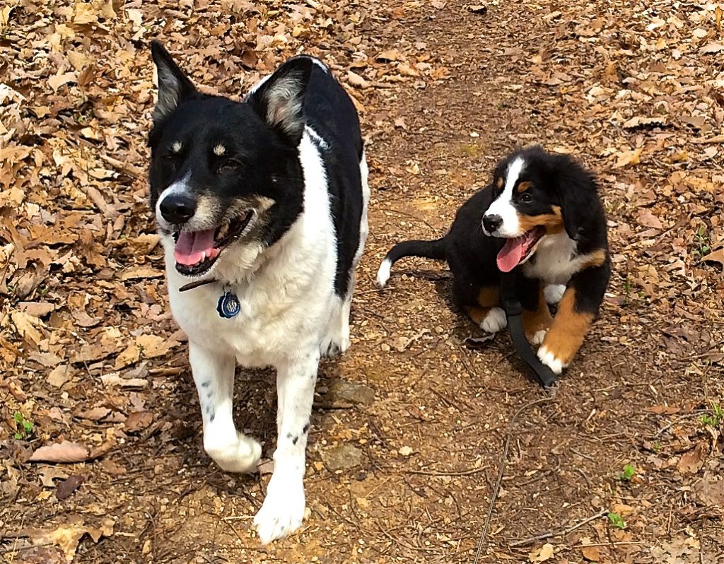 Color photograph of Basquiat, the black and white mixed-breed dog and Annebäbi, the Bernese mountain dog puppy running side-by-side toward the photographer. The puppy is looking up to her much taller companion and her still relatively short-haired tail is bent to the same side and forward so that its white tip is very visible.