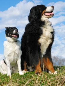Color photograph of a small white dog with black head sitting next to a large Bernese mountain dog.