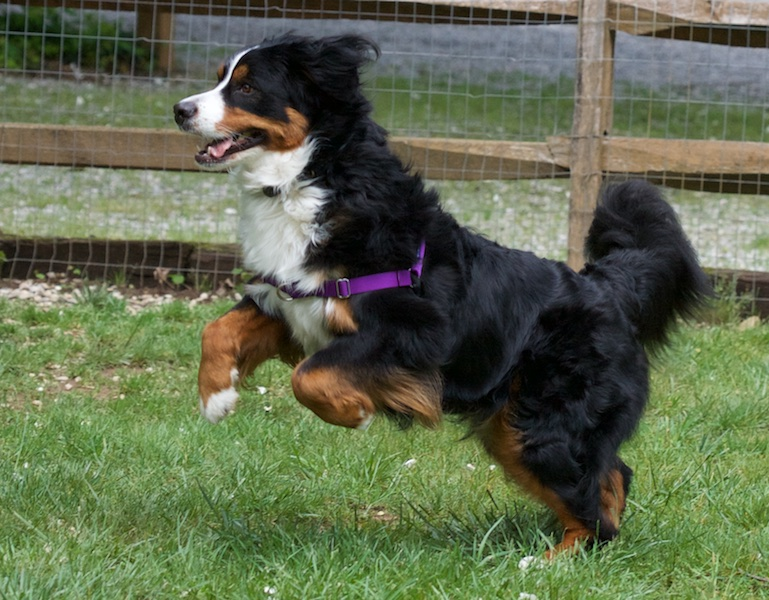Color photograph of a Bernese Mountain dog with a very shiny, black, black long-hair coat. She has well developed markings typical for the breed: chestnut on her legs, cheek and two spots over the eyes; white on her chest, nose, a narrow stripe up her forehead, and on the paws. The shot is from the side as she is launching up and forward with her hind legs still on the ground, the bushy tail waiving right and the front paws just starting to straighten out.